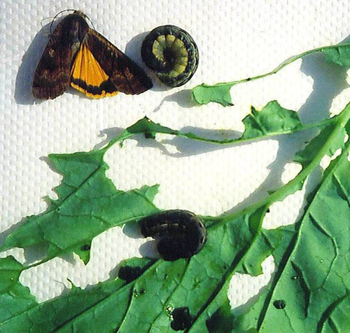 Large Yellow Underwing Moth adult, cutworms and damage