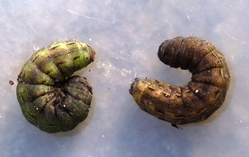 Large Yellow Underwing Moth cutworms