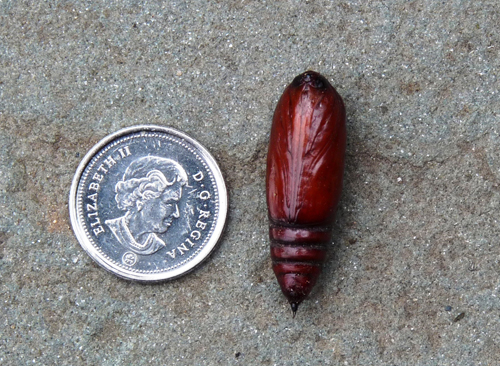 Large Yellow Underwing Moth pupa