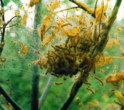 Fall webworms and nest