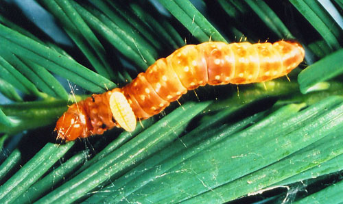 Tachinid fly larva