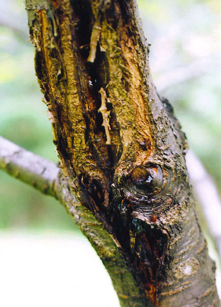 bacterial canker of cherry