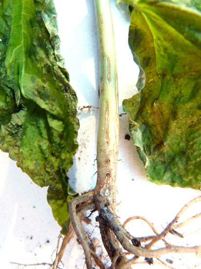 Root rot on bean