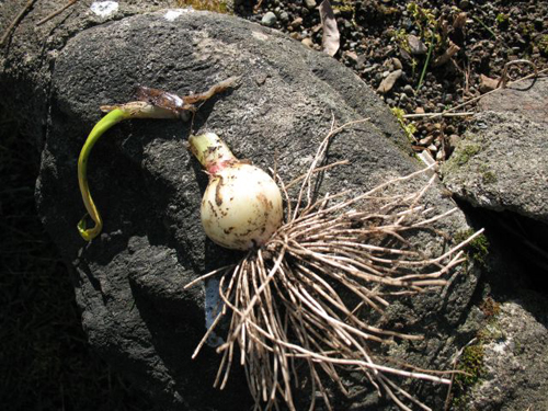 Botrytis rot on garlic