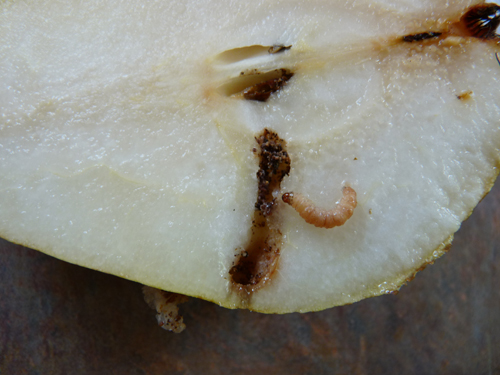 Codling moth in pear